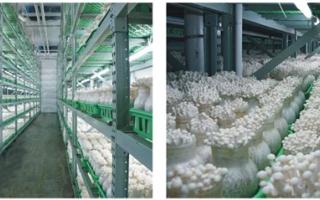 星河生物产品:白玉菇
