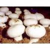雙孢菇菌種