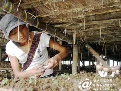 临翔区勐托村民成功引种姬松茸