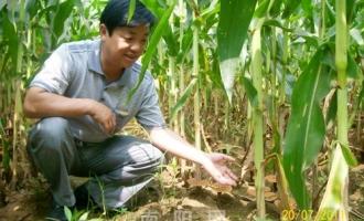河南桐柏县农民玉米地套种灵芝取得成功