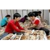 供应批发茶树菇菌种