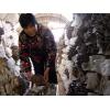 冬季种植蘑菇种类