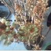 天麻种子密环菌出售  天麻蒴果萌发菌预定
