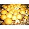 出售优质高产滑子蘑菌种