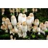 鸡腿菇菌种