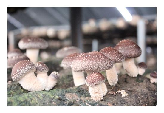 平泉花菇 (4)