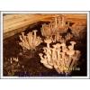 荷叶离褶伞二级菌种的制作
