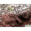 北虫草菌种价格 冬虫夏草种子