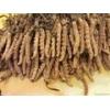 虫草种子价格/虫草菌种价格