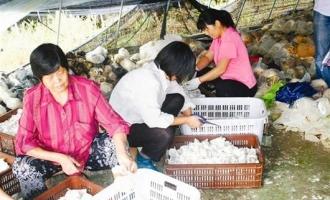 武汉红星村姬菇生产开启幸福生活
