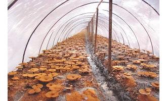 浦城灵芝产业风生水起、产品蜚声海外