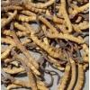 冬虫夏草种子 人工培育虫草技术,冬虫草种子价格