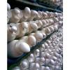 食用菌产品 白灵菇 阿魏菇 白灵菇医药价值