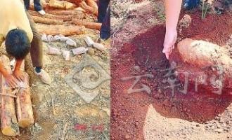 云南:种植茯苓菌处理疫木