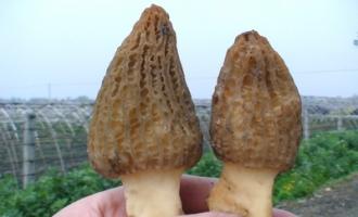 班玛县发展羊肚菌种植