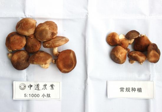 香菇实验对照 (5)