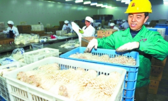 众兴菌业公司为700多户betvlctor伟德种植户提供技术服务