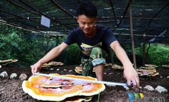 陶元:发展高科技农业灵芝种植前景乐观