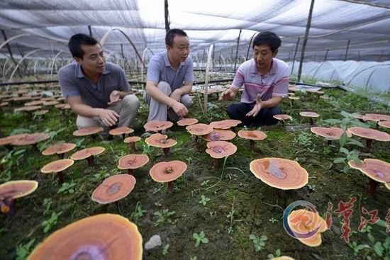 保康县歇马镇建成湖北省最大灵芝菌生产基地