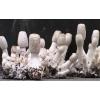 鸡腿菇 食用菌厂家 有机食品 节日礼品 安徽特产