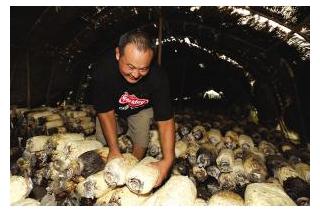 高温影响姬菇发芽  菇农期待专家指导