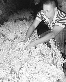 金针菇易染菌及防治