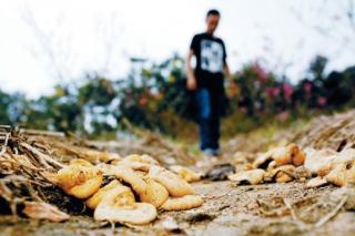景观带有大量白色蘑菇  是有毒鹅膏菌不能食用