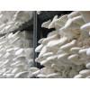 白灵菇菌种菌棒