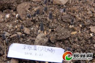 珍稀羊肚菌花落泸定县