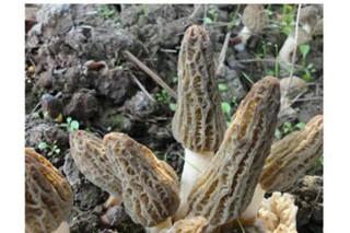 金堂县羊肚菌大规模出菇亩产值达6万