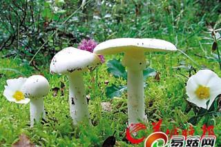 东莞市民误食毒蘑菇致死 揭秘粤头号毒菇杀手