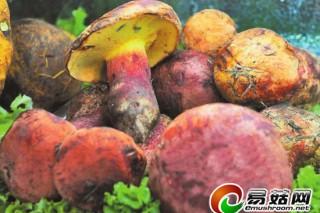 云南山珍野生菌喜迎上市季 见手青150元~280元/公斤