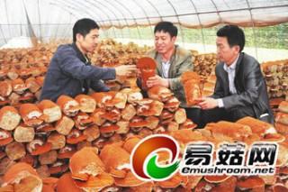 江苏华苏亚塑料大棚一万多个菌包成功培育灵芝