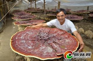 湖南靖州采用新技术培育出巨型红灵芝