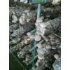 山东青岛出口日本级香菇菌棒国外技术跟踪