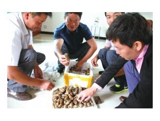 野生菌飘香云蕈引来海外客商(图)