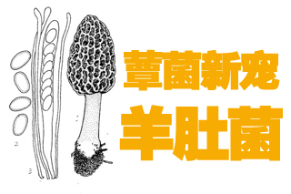 """中国蕈菌""""新宠""""羊肚菌好商机 规模化栽培走在世界前沿"""