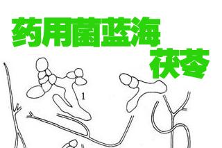 """茯苓產業探索——""""小菌種""""如何逆襲成就""""大產業""""?"""