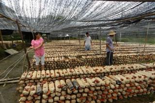 建阳崇雒乡种植茶树灵芝12万袋喜获丰收
