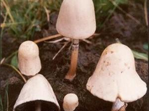 野生菌中毒事件频发 认清这几种毒蘑菇 (7)