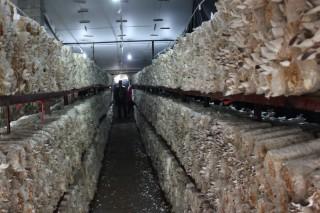 河北省农科院食用菌栽培料灭菌方法获国家发明专利
