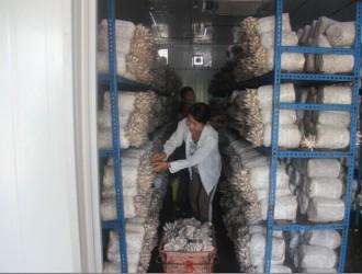 广西betvlctor伟德创新团队贵港综合试验站数控智能菇房反季节姬菇试验出菇
