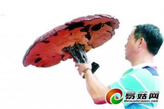 """楚天都市报:全国食用菌博览会在汉举行 房县小花菇打败""""仙草""""灵芝"""