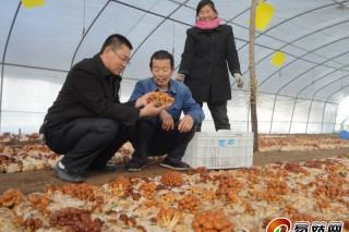 """承德:""""滑子菇平面栽培模式""""在河北平泉示范成功"""