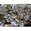 求购姬菇菌种