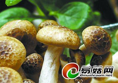 冬种香菇防幼蕾萎死