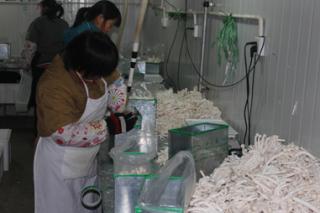 济阳县将建成全国最大的海鲜菇食用菌生产基地
