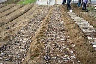 重庆:农户引猪苓种植 行情佳