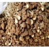供应茶树菇 一级茶树菇