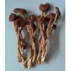 特级茶树菇供应 茶树菇 干品